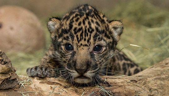 생후 2주 새끼 표범의 엄청난