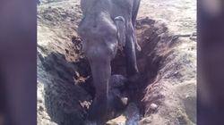 엄마 코끼리는 새끼 구하려 11시간 사투를