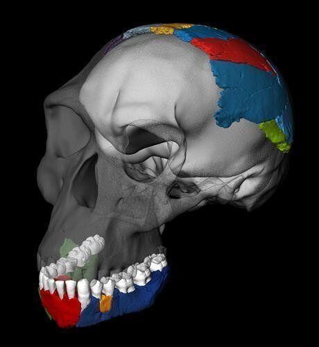 '도구 만드는 인간' 호모 하빌리스 두개골