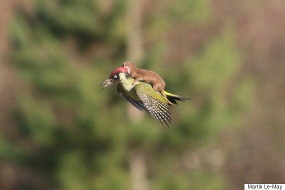 족제비를 태우고 날아가는 딱따구리