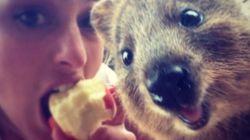 호주, '쿼카와 셀카 찍기'