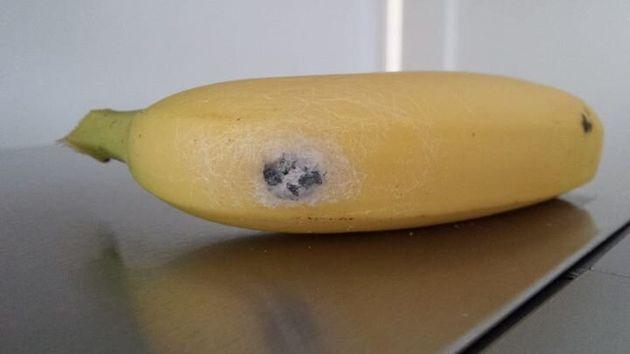 테스코 바나나에서 발기를 유발하는 독거미가 고치를