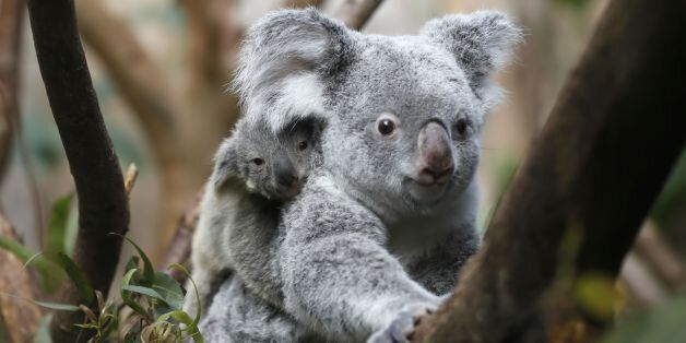 The yet unnamed male koala joey rides on his mother Goonderrah's back at the Zoo in Duisburg, western...