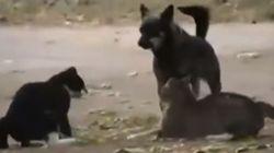 고양이들 싸움은 개들이 말린다!(동영상