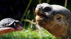 갈라파고스에서 1세기 만에 새끼 땅거북이