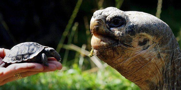 A newly hatched Giant Galapagos tortoise, left, is shown in the Zurich zoo next to an adult animal, Wednesday...