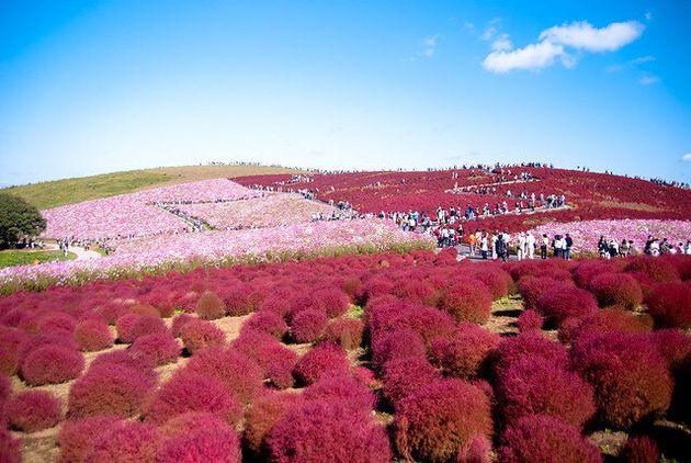봄이면 푸른 꽃이 만발하는 일본의 히타치 해변