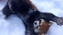 레서판다도 겨울을 즐긴다!
