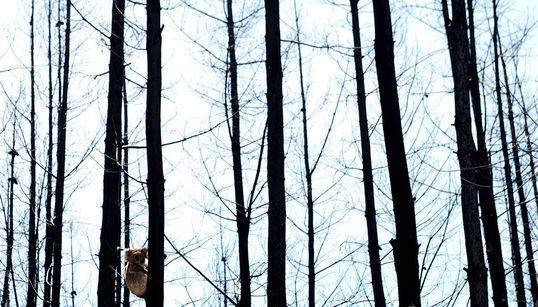 대화재로 세계를 잃어버린 코알라의 사진을