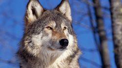 늑대를 위한 '플루타르코스