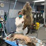 Pour sauver ce chien, il a fallu lui retirer 4kg de poils et 17 cm