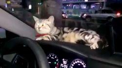 경찰차 대시보드에 앉은 고양이