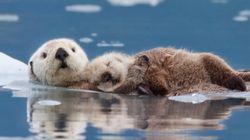 알래스카 해달들이 겨울을 나는