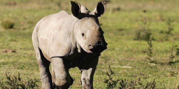 희귀종 흰코뿔소 1마리