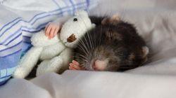 쥐가 치매에 걸리지 않는