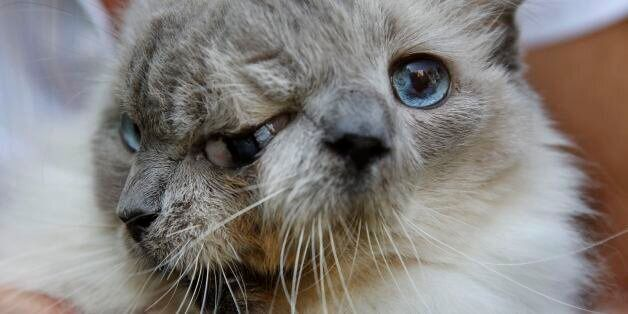 In this Wednesday, Sept. 28, 2011 photo, a cat with two faces, named Frank and Louie, one name for each...