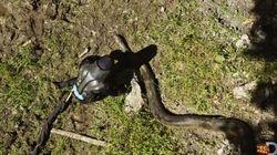 미 환경운동가, 아나콘다에 산 채로