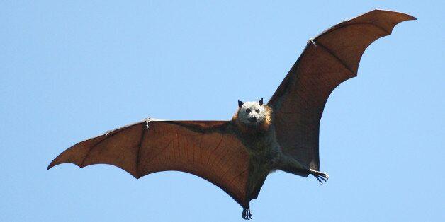 호주 내륙 폭염에 박쥐 수천 마리