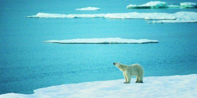 온난화로 북극곰이 사라지고