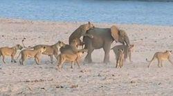 어린 코끼리 VS 사자