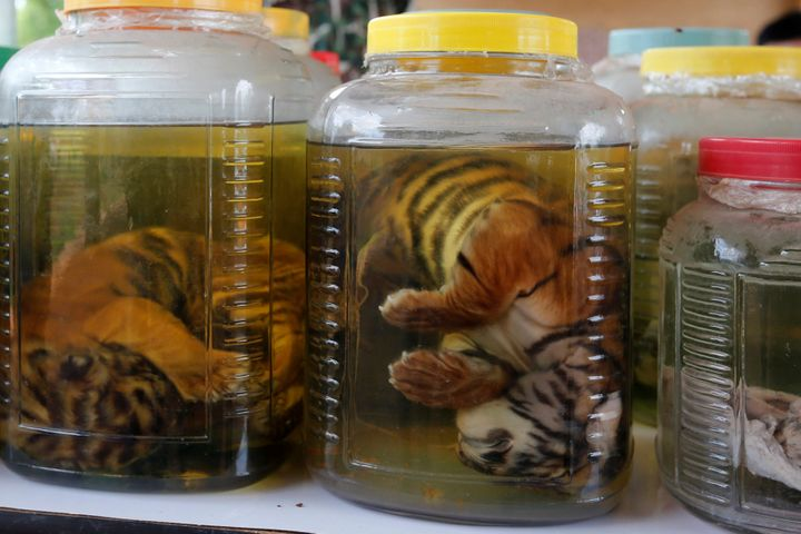Tiger cub carcasses are seen in jars containing liquid as officials continue moving live tigers from the controversial Tiger