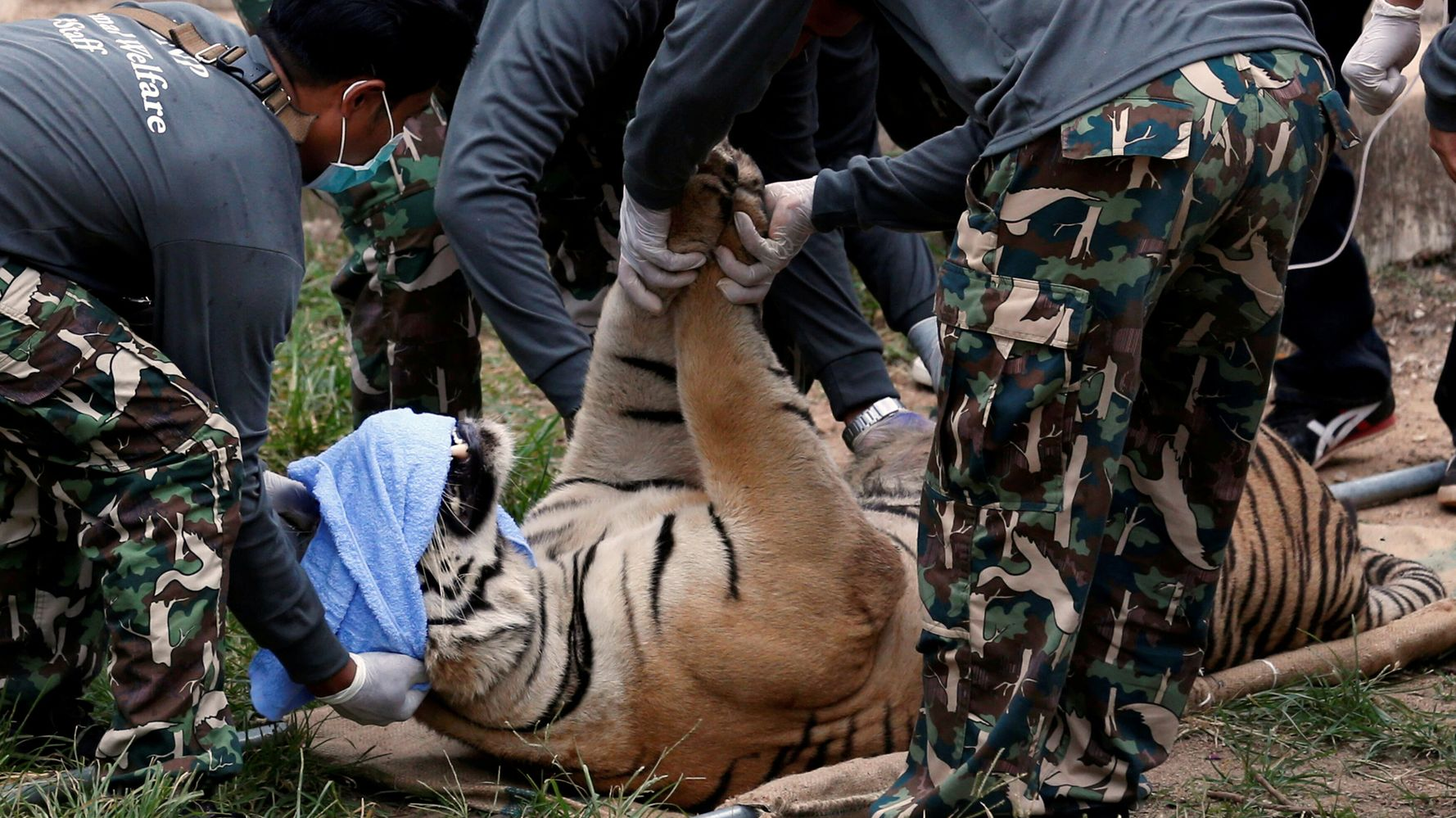 Majority Of Tigers Rescued From A Thai Tourist Attraction Have Died