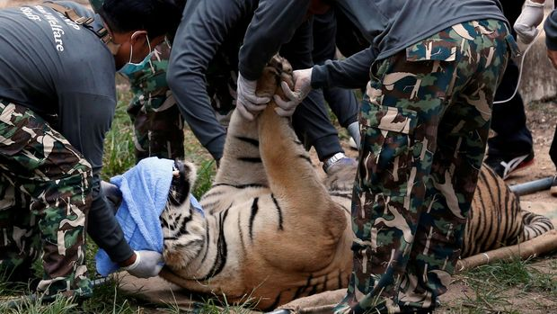 A sedated tiger is stretchered as officials start moving tigers from Thailand's controversial Tiger Temple, a popular tourist destination which has come under fire in recent years over the welfare of its big cats in the Kanchanaburi province, west of Bangkok, Thailand May 30, 2016. REUTERS/Chaiwat Subprasom/File Photo