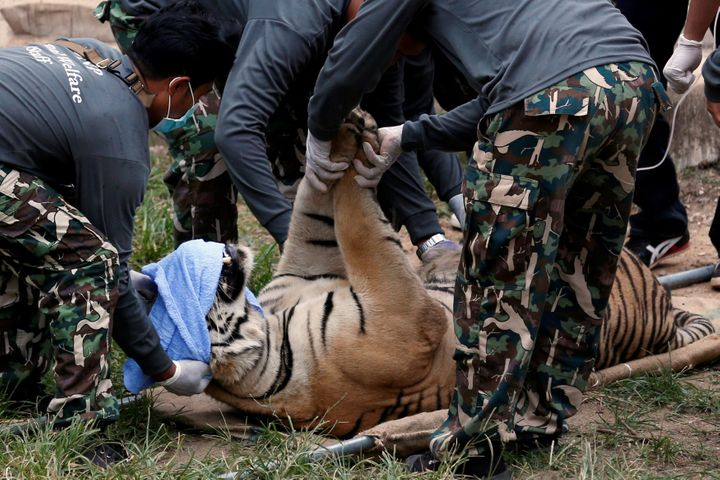 A sedated tiger is seen lying on a stretcher as officials start moving tigers from Thailand's controversial Tiger Temple in 2