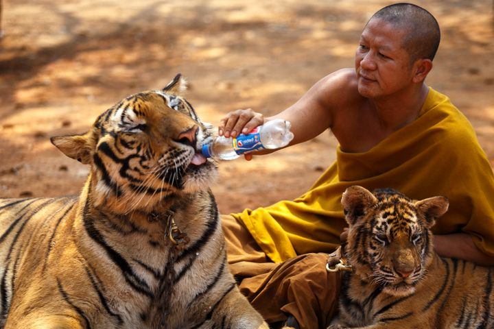 A Buddhist monk feeds a tiger with water from a bottle at the Wat Pa Luang Ta Bua, otherwise known as the Tiger Temple, in Ka