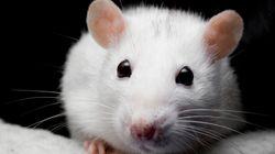 '쥐 살육 동아리'에 대한 끔찍한 사실