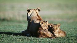 아프리카 사자도 곧 멸종