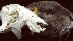 공룡 전성기 거대 포유류
