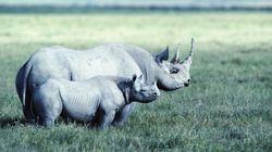 남아공 코뿔소, 밀렵 피해