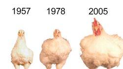 닭의 크기가 과거보다 4배나 커진
