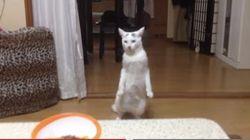 사람처럼 뒤로 걷는 고양이가