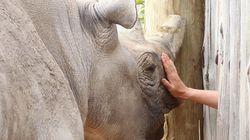 지구에는 단 6마리의 북부흰코뿔소만