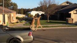 호주 캥거루의 길거리