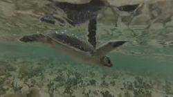 150마리의 바다거북이가 해변으로 뛰어들었다!