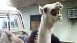 아마도 당신이 처음 듣는 낙타의