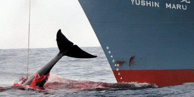일본 남극해 고래잡이 지속