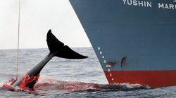 일본, 남극해에서 계속 고래