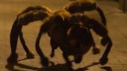 거대 거미개의