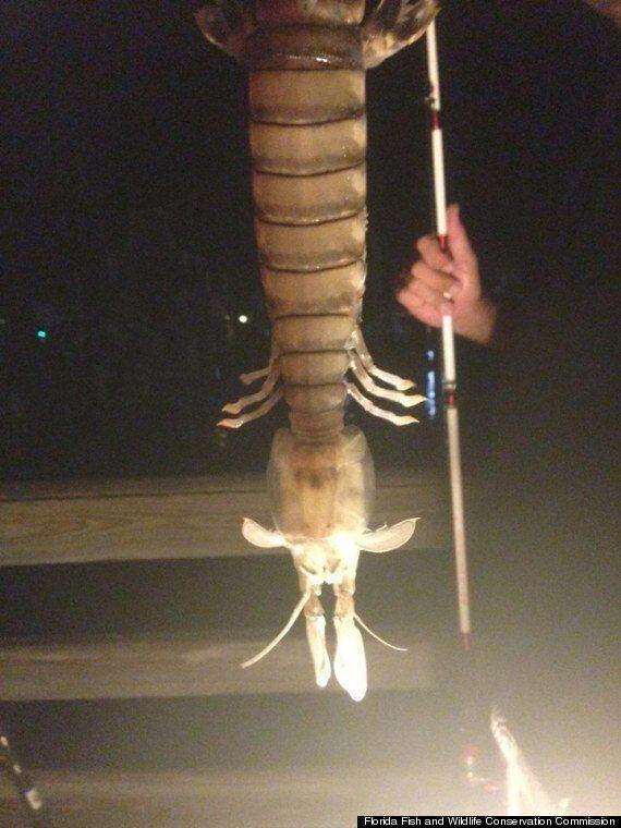 거대 새우가 낚시에 걸리다 (사진,