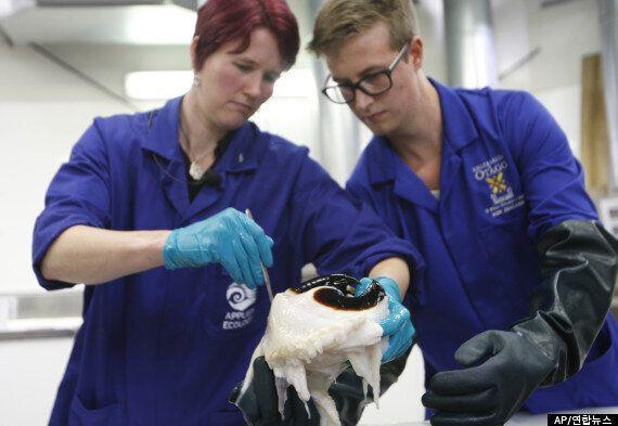 남극 바다에서 잡힌 무게 350kg의 초대형 오징어(사진,