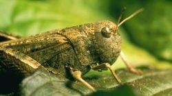 이참에 메뚜기로 식량난