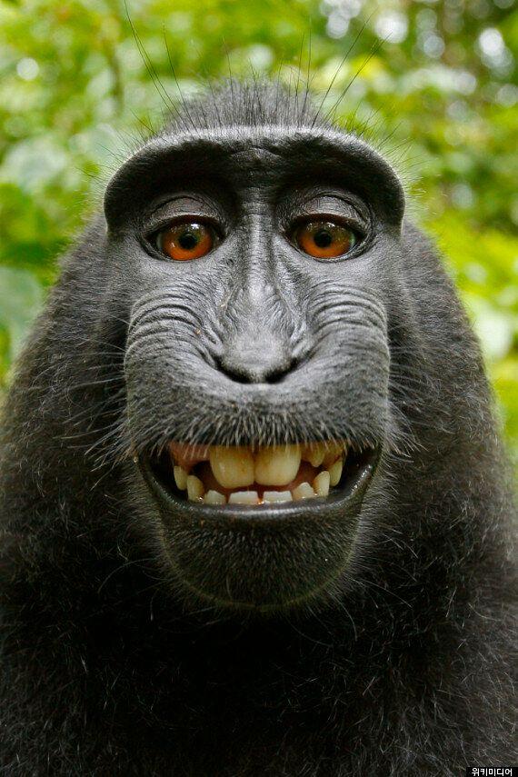 '살인미소 원숭이 셀카' 저작권은