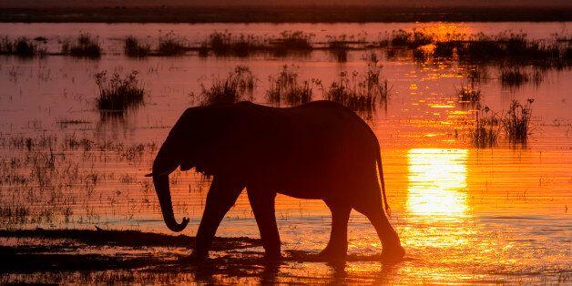 3년 동안 10만 마리의 코끼리가 밀렵으로