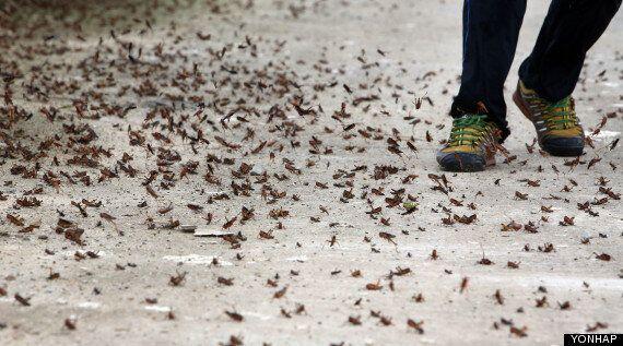 해남, 수십억 마리 메뚜기 떼