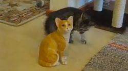 고양이 인형을 만난 고양이, 당황하다