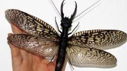 가장 거대한 수생벌레가 새롭게